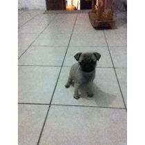 Cachorra Pug 100% Pura Vacunada Y Desparacitada