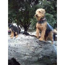 Hermosos Cachorros Airedale Terrier