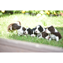 Cachorros Springer Spaniel Pedigree Internacional Jalisco