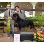 Rottweiler Cachorros Hijos De Picasso Timit Tor
