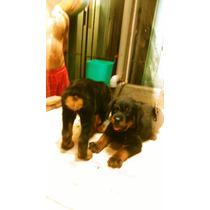 Hermosos Cachorros Rottweiler