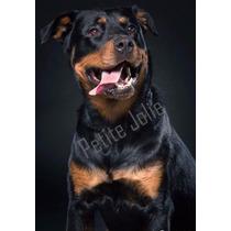 Cachorra Rottweiler Linea Alemana 1 Año