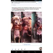 Cachorras Pitbull Mes Y Medio Desparasitadas