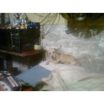 Se Venden Hermosisimos Cachorros Schnauzer Cruza De Labrador