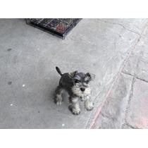 Hermosos Cachorros Schnauzer Miniatura
