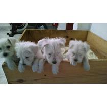 Cachorros Schnauzer Mini Blancos