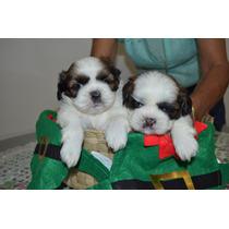 Preciosos Y Finos Cachorros Shih Tzu