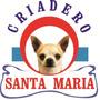 Criadero Santa Maria Yorkshire Terrier Cachorritos