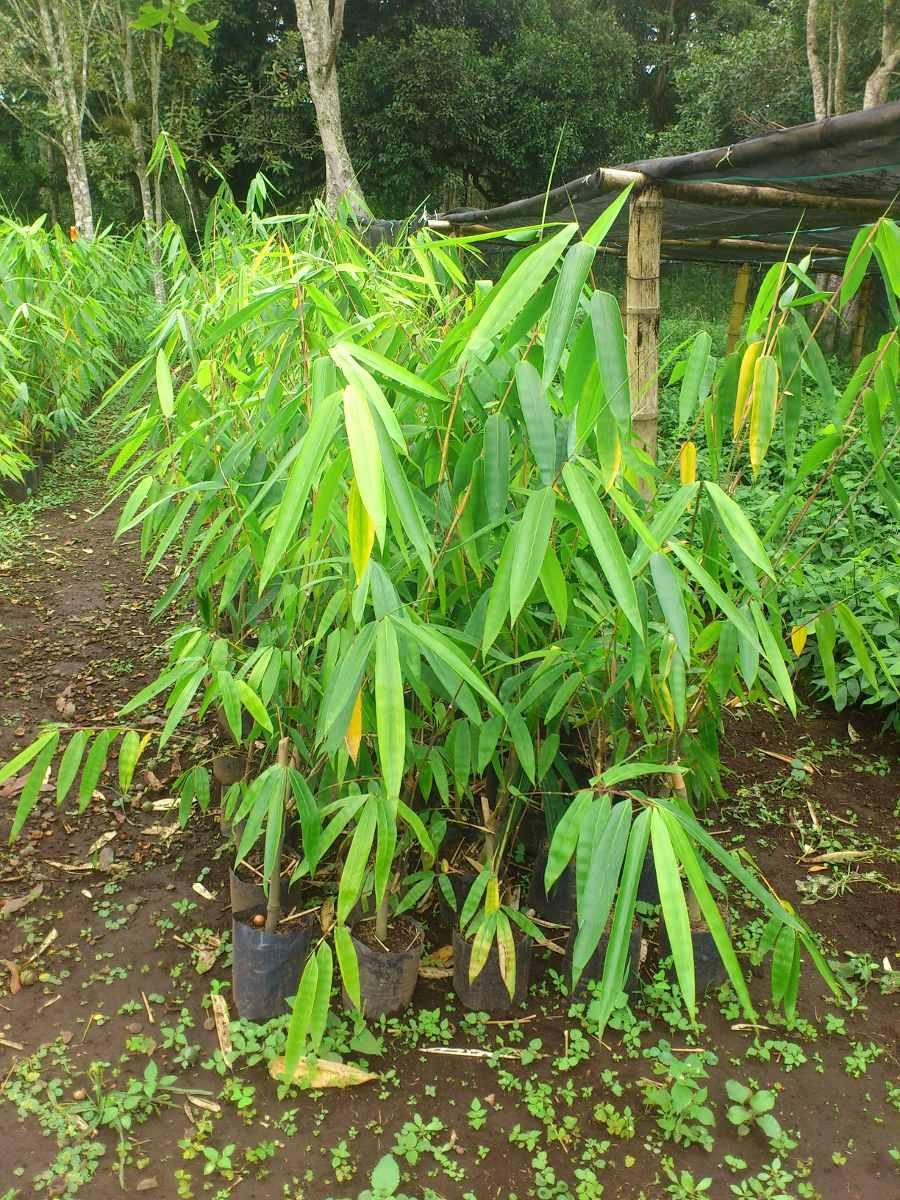 Planta bambu dendrocalamus giganteus en - Bambu planta exterior ...