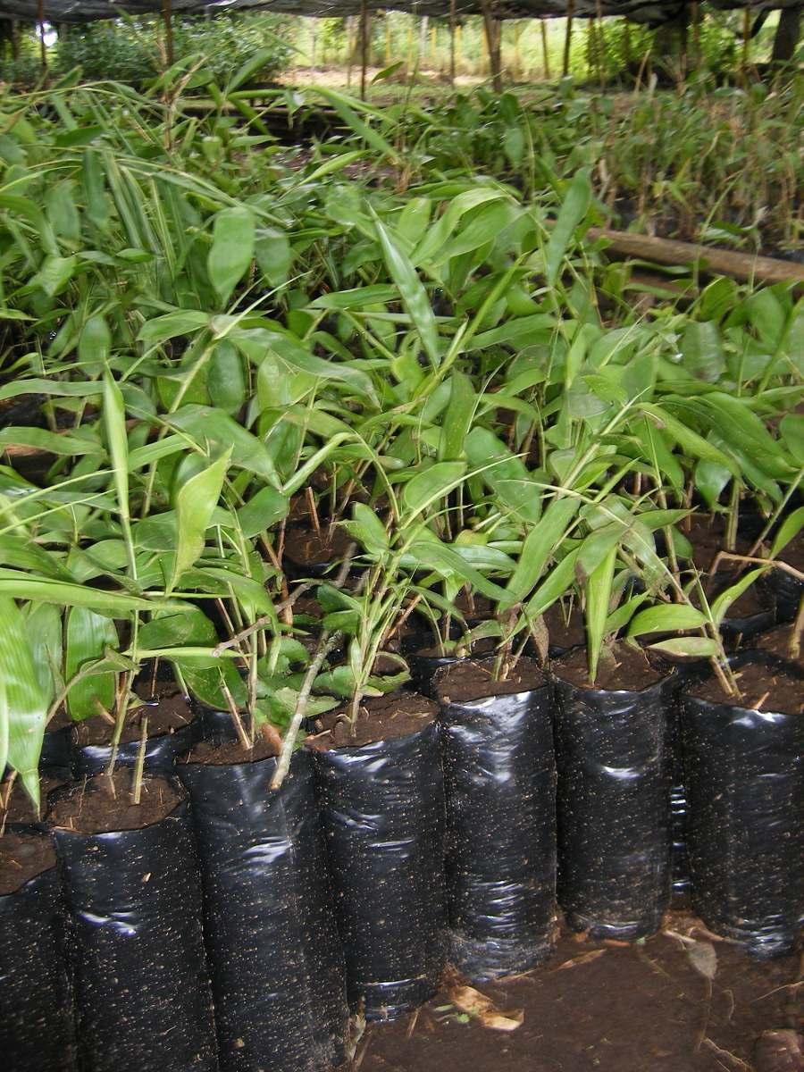 Planta de bambu guadua angustifolia en mercadolibre - Bambu planta exterior ...