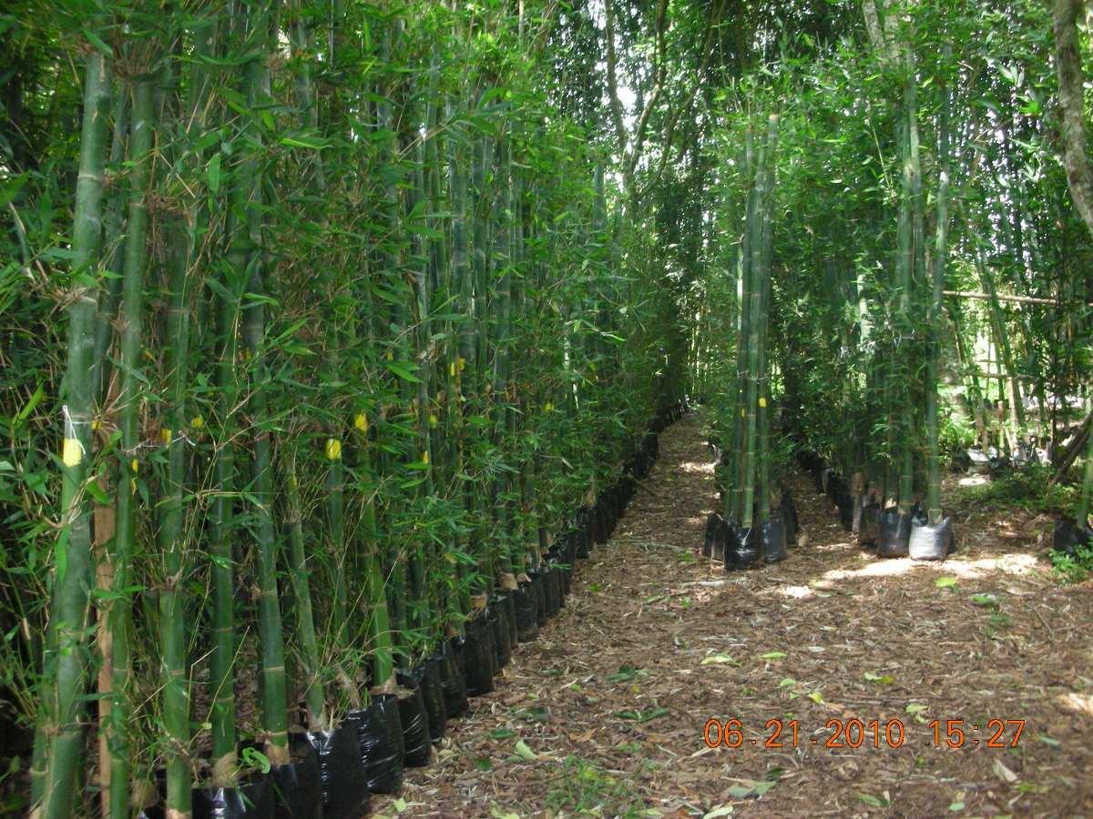 planta de bambu oldhamii rizoma mayor de 2 a 3 m 85