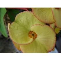 Corona De Cristo ( Euphorbia Milii ) Crema Filos Rojos