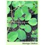 Moringaoleifera (plantas)