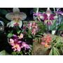 Orquideas Paquete Spathoglottis Plicata Diferentes Colores
