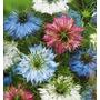 Love In A Mist 20 Semillas Flores Nigelia Planta Sdqro