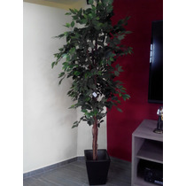 Arbol Ficus Maa