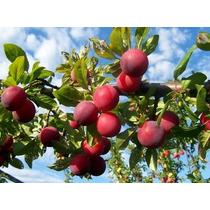 Cultivo De Frutales Exóticas Secas - Libro