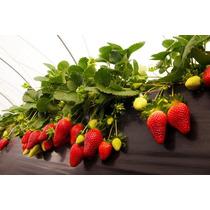 Planta De Fresa Caja Con 1000 Plantas