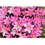 Bulbo De Lirio De Lluvia Rosa Flor Grande 2 Por $50