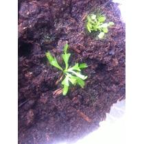 >>> Plantas Carnivoras Dionaea Venus Atrapamoscas C