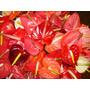 Planta De Anturios. Varios Colores, Rosa, Naranja, Rojo