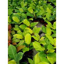 Planta Interior Philodendron Maceta 6 Pulgadas Variedades