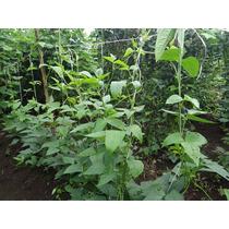 Frijol Negro Vigna Unguiculata 12 Semillas