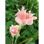 Planta Exótica Etlingera Elatior Rosa B. Emperador Antorcha