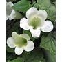 Asarina Erubescens Blanca 100 Semillas Flor Trepadora Sdqro