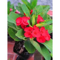 Corona De Cristo ( Euphorbia Milii ) Roja