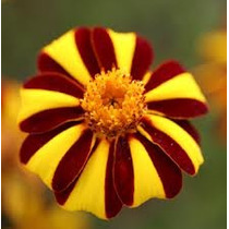 Marygold Harlequin 10 Semillas Flores Jardín Planta Sdqro