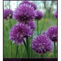 Allium Chives 20 Semillas Flor Jardín Planta Sdqro