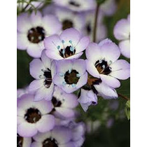 Ojo De Pajaro 20 Semillas Flor Jardín Planta Flor Sdqro