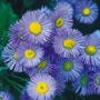 Erigeron Azul 15 Semillas Flor Jardín Planta Sdqro