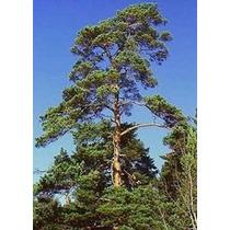 25 Semillas De Pinus Sylvestris - Pino Silvestre Codigo 947