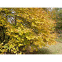 Arbol Vernal Witchhazel (10 Semillas)