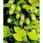 9 Semillas De Humulus Lupulus (lupulo) Codigo 325