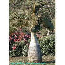 5 Semillas De Hyophorbe Lagenicaulis (palma Botella) C. 1323