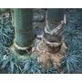 Semillas De Dendrocalamus Giganteus (bambu Gigante) Cod.1313