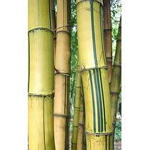 12 Semillas De Bambusa Araundinacea - Bambu Codigo 1311