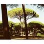 15 Semillas De Pinus Pinea (piñon O Pino Piñonero) Cod. 948