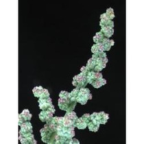 1 Lb Semillas De Chenopodium Berlandieri - Huauhzontle