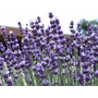 50 Semillas Lavanda Lavandula Angustifolia Planta Aromatica