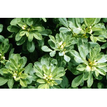30 Semillas Fenogreco Alholva Medicinal Huerto Planta Vbf