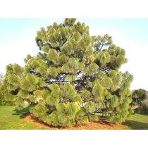 10 Gr. Aprox. 400 Semillas De Pinus Montezumae - Pino Ocote