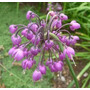 Allium Cernuum 10 Semillas Flor Jardín Planta Sdqro