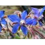 Borago Officinalis 10 Semillas Flor Jardín Planta Sdqro