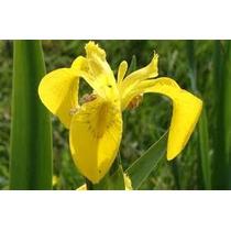 Iris Lirio Amarillo 5 Semillas Flor Jardín Rizomas Sdqro