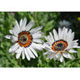 50 Semillas Flor Margarita Zulu Cape Exotica Ornamental