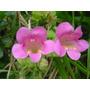 Asarina Rosa Enredadera 10 Semillas Flores Planta Sdqro